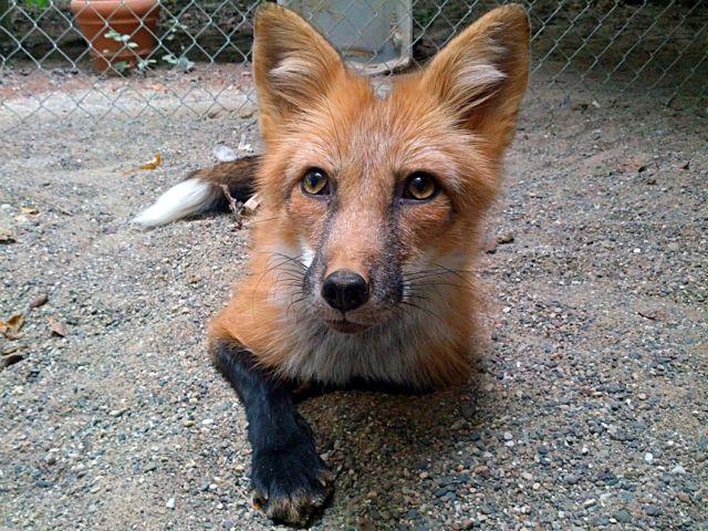 Πώς εξημερώνονται οι αλεπούδες | tovima.gr