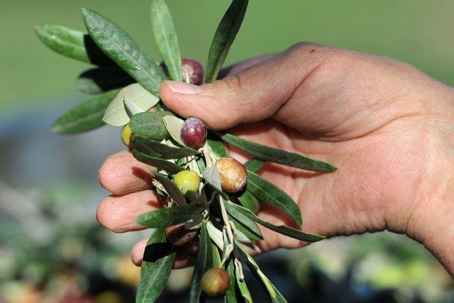 Greek olive oil production to offset international decline | tovima.gr