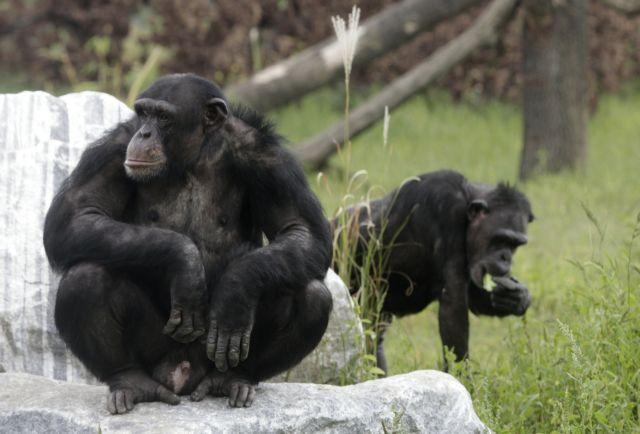 Οι χιμπατζήδες βιώνουν κρίση μέσης ηλικίας | tovima.gr