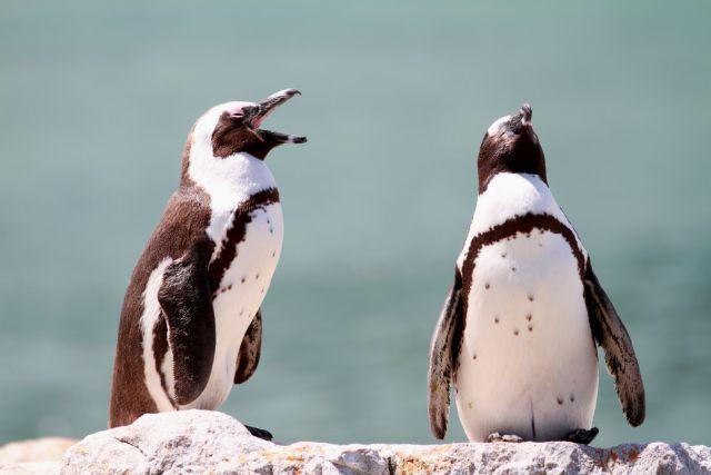 Αποκρυπτογραφήθηκε η γλώσσα των πιγκουΐνων | tovima.gr