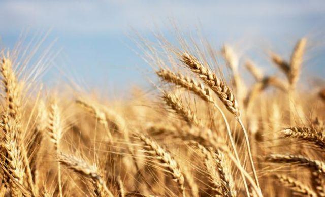 «Ξεκλειδώθηκαν» τα γενετικά μυστικά του σιταριού | tovima.gr