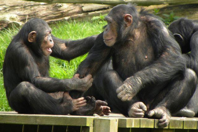 Οι χιμπαντζήδες είναι… δίκαιοι! | tovima.gr