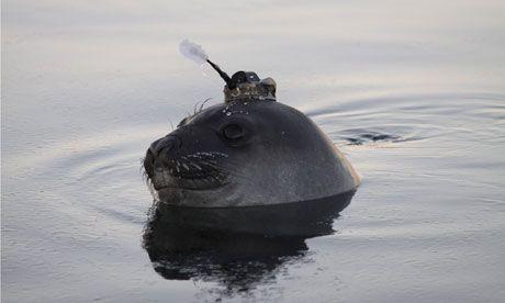 Θαλάσσιοι ελέφαντες βουτούν για την επιστήμη | tovima.gr