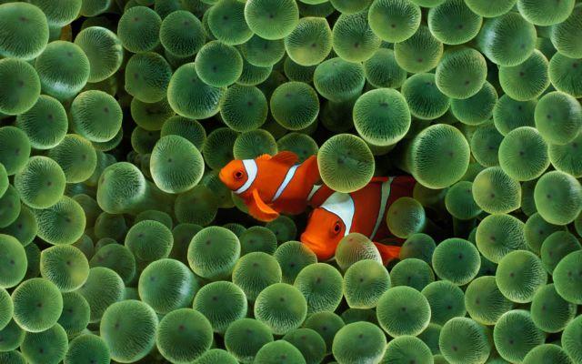 Τα ψάρια-κλόουν προσφέρουν «ανάσα» στις θαλάσσιες ανεμώνες | tovima.gr