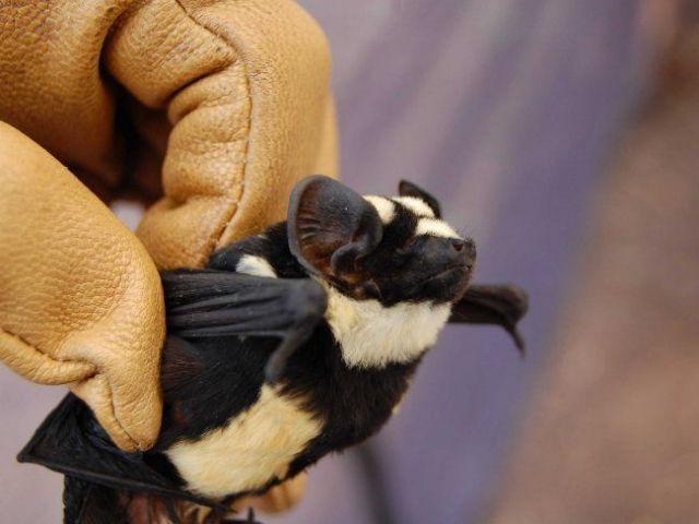 Νυχτερίδα «Πάντα» ανακαλύφθηκε στο Σουδάν   tovima.gr
