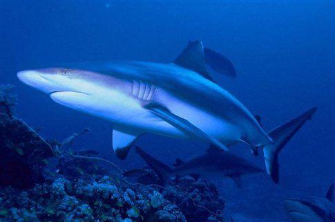 Οι καρχαρίες καταδύονται για να αποφύγουν την πανσέληνο | tovima.gr