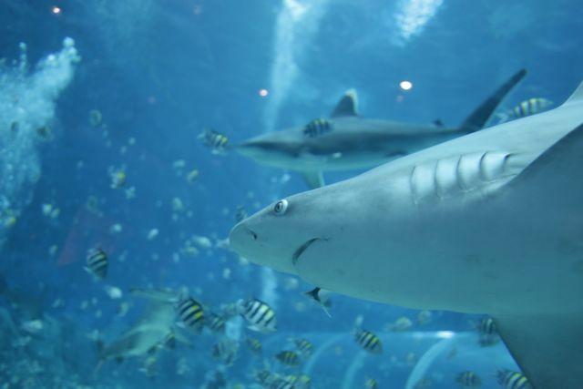 καρχαρίες βασιλιάδες που χρονολογούνται από τις εμπορικές αιμιοσύνδεσμος πρίσμα σεξ