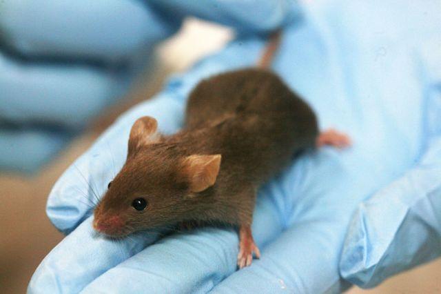 Ποντίκια με ανθρώπινο γονίδιο «μαθαίνουν πιο γρήγορα» | tovima.gr