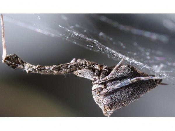 Η αράχνη που υφαίνει ηλεκτροστατικό ιστό   tovima.gr