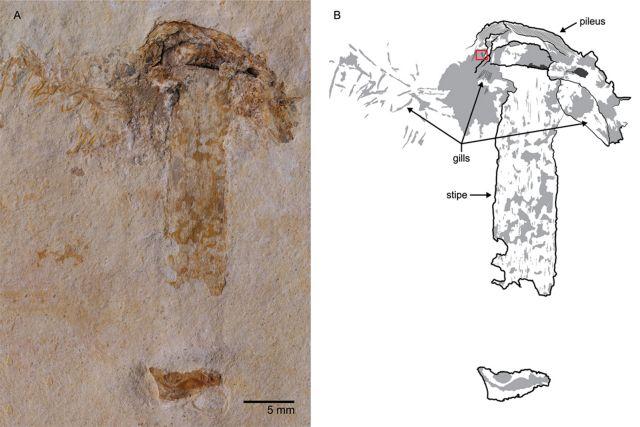 Βρέθηκε μανιτάρι από την εποχή των… δεινοσαύρων   tovima.gr