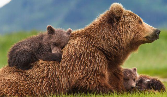 Οι αρκούδες εξυπνότερες από ποτέ εκμεταλλεύονται… νόμο και γλιτώνουν από κυνηγούς | tovima.gr