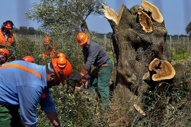 Η Ιταλία θα λάβει μέτρα για καταστροφική επιδημία στους ελαιώνες | tovima.gr