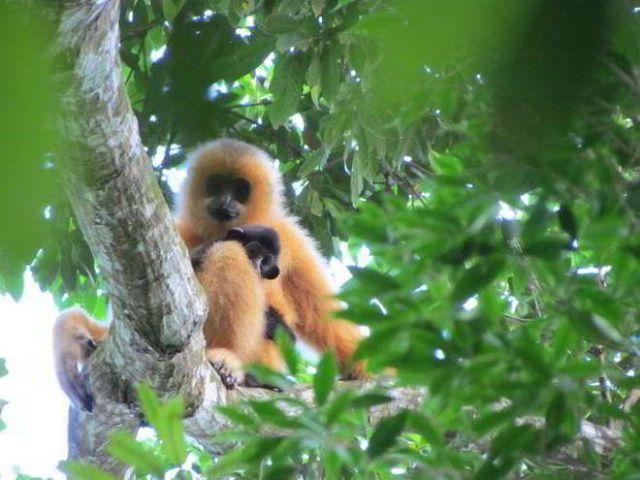 Ύστατη προσπάθεια για τον σπανιότερο πίθηκο του κόσμου   tovima.gr