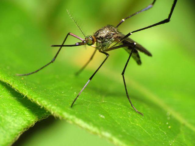 Κουνούπια: πρώτα μυρίζουν, μετά κοιτάζουν | tovima.gr