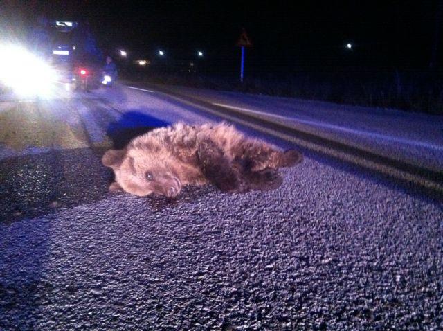 Αρκουδάκι σκοτώθηκε σε τροχαίο την περασμένη Τρίτη   tovima.gr