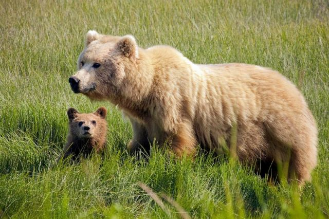 Θηλυκές αρκούδες «προστατεύουν τα μικρά τους με ανθρώπινες ασπίδες» | tovima.gr