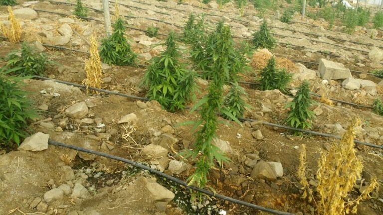 Πύργος: Σε εξέλιξη επιχείρηση για τον εντοπισμό καλλιεργητών κάνναβης | tovima.gr
