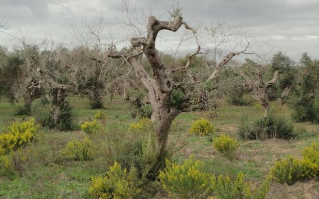 Ο «Έμπολα των ελαιόδεντρων» έφτασε και στην Ισπανία | tovima.gr