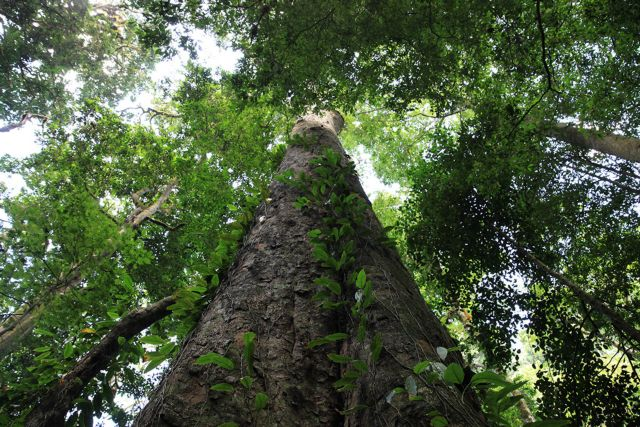 Στα πόδια του Κιλιμάντζαρο το ψηλότερο δέντρο της Αφρικής | tovima.gr