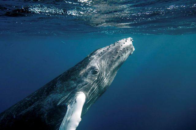 Κάμερες με βεντούζες ακολουθούν τις φάλαινες στην Ανταρκτική   tovima.gr