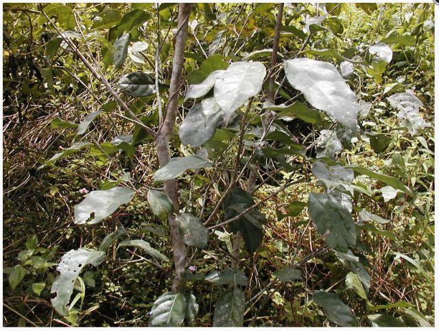 Τροπικό φυτό στη μάχη κατά της νόσου Αλτσχάιμερ | tovima.gr