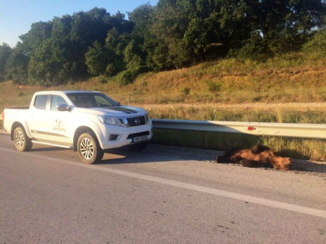 Θεσσαλονίκη: Αρκούδα πέθανε κατα την μεταφορά της σε κτηνιατρείο μετά από τροχαίο   tovima.gr
