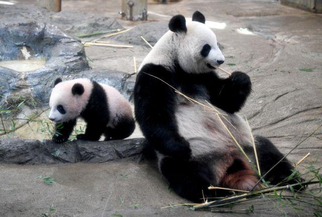 Κίνα: Μικροτσίπ στα νεογέννητα πάντα του Εθνικού Δρυμού της Σετσουάν | tovima.gr