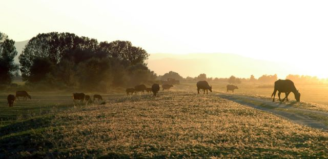 Νεροβούβαλος: από την εξαφάνιση, στην παραγωγή και στην ανάπτυξη   tovima.gr