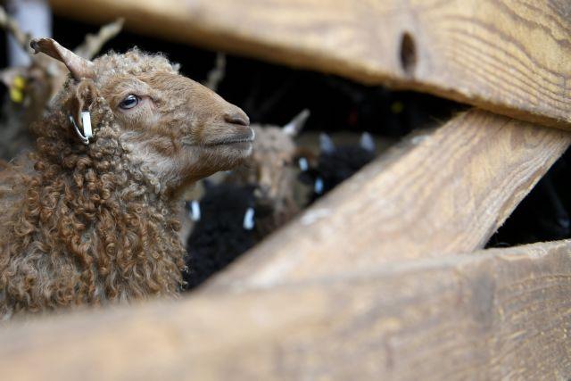 Η πρώτη κλωνοποιημένη κατσίκα του κόσμου έγινε μητέρα | tovima.gr