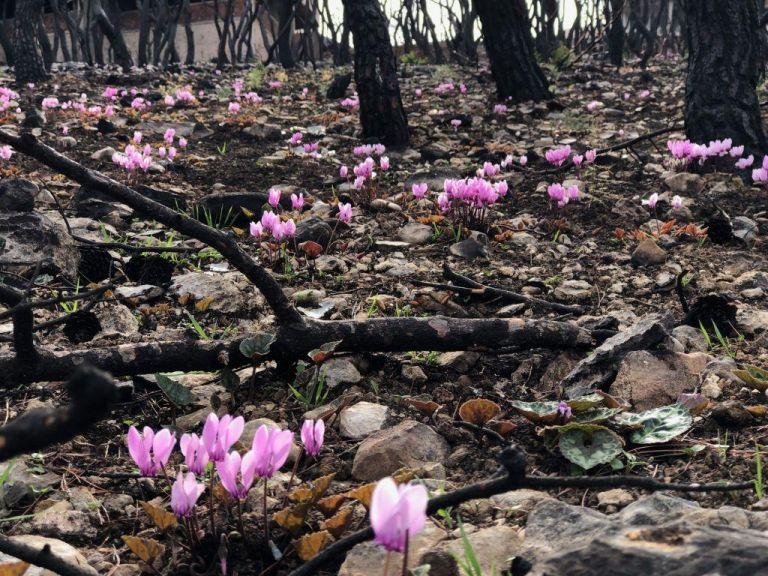 Μάτι: Η φύση αναγεννάται με τα μοβ χρώματα του πένθους | tovima.gr