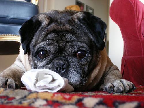 Τα σκυλιά μπορούν να μυρίσουν την ελονοσία στους ανθρώπους | tovima.gr