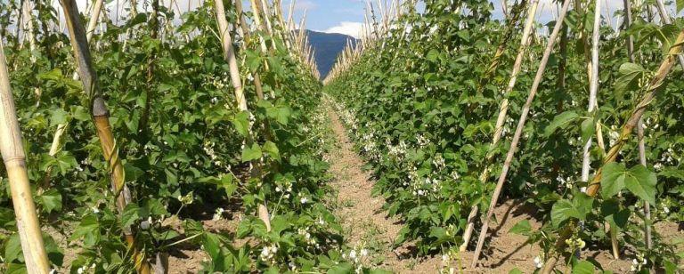 Τους εμπόρους για εναρμόνιση τιμών καταγγέλλουν οι παραγωγοί φασολιών | tovima.gr