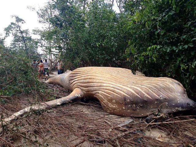 Το μυστήριο με τη νεκρή φάλαινα στον Αμαζόνιο | tovima.gr