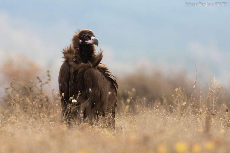 Σπάνιος μαυρόγυπας που διέσχισε τα Βαλκάνια, φολιάστηκε στην Ελλάδα   tovima.gr
