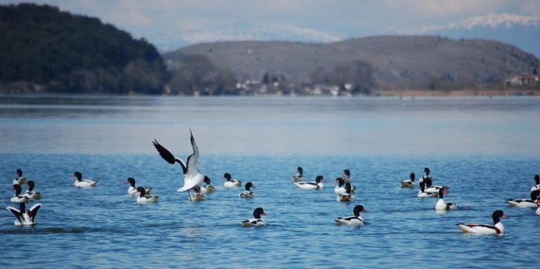 Παμβώτιδα: Χηνόπαπιες ξαποσταίνουν στα  νερά της (εικόνες) | tovima.gr