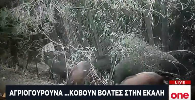 Μόνιμοι κάτοικοι… Εκάλης τα αγριογούρουνα – Εξόντωσή τους ζητεί ο δήμαρχος | tovima.gr