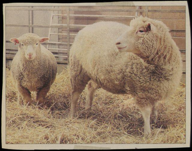 Νόσος Μπάτεν : Πώς τα μεταλλαγμένα πρόβατα δίνουν ελπίδα για την καταπολέμησή της   tovima.gr