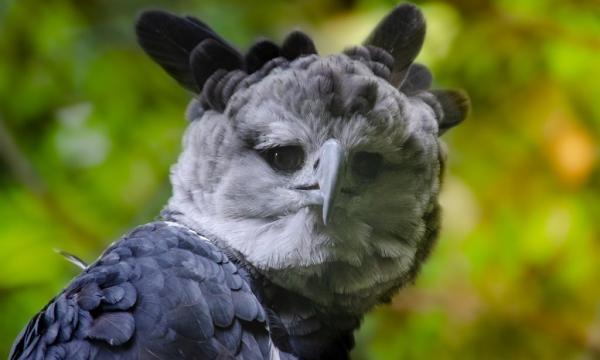 Άρπυια : Ο τεράστιος αετός με το χαρακτηριστικό λοφίο | tovima.gr