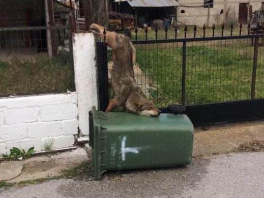Ο «Αρκτούρος» απεγκλώβισε λύκο από μάντρα σπιτιού στον Καστανά Θεσσαλονίκης | tovima.gr