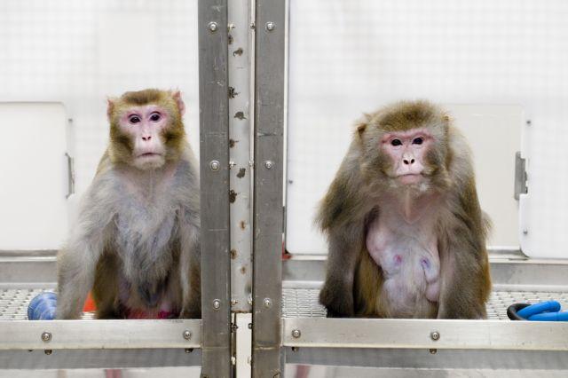 Κορωνοϊός: Πίθηκοι που εκτέθηκαν στον ιό απέκτησαν ανοσία | tovima.gr