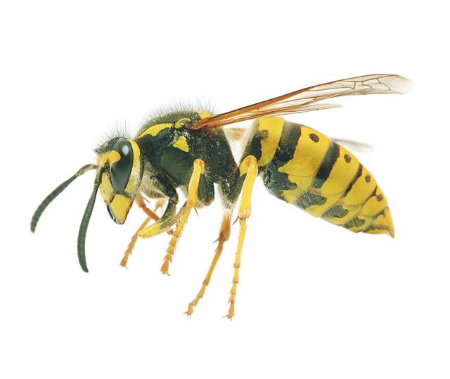 Τι  θα κάνετε αν σας τσιμπήσει μέλισσα ή σφήκα   tovima.gr