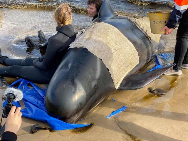 Τασμανία : Eκατοντάδες φάλαινες παγιδευμένες σε ακτή – 380 ήδη νεκρές   tovima.gr
