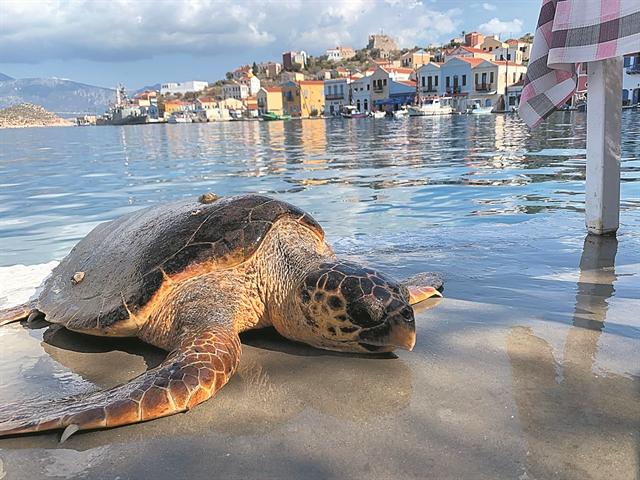 Αγωνία για την τύχη μιας τραυματισμένης θαλάσσιας χελώνας | tovima.gr