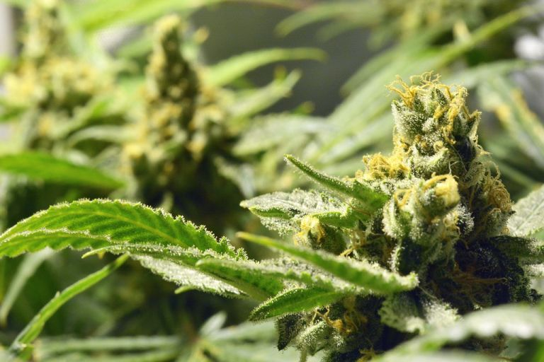 Pharmaceutical cannabis: American interest in export investments in Greece | tovima.gr