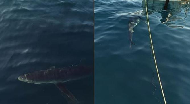 Καρχαρίες κάνουν βόλτες δίπλα σε ψαράδες σε Αμάρυνθο και Κινέτα – Δείτε φωτογραφίες | tovima.gr