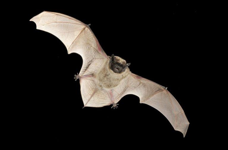 Κορωνοϊός συγγενικός με το MERS βρέθηκε σε νυχτερίδες στην Ελβετία   tovima.gr