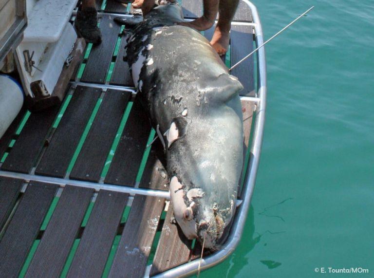 Αλόννησος: Εισαγγελική παρέμβαση για τη θανάτωση της φώκιας – μασκότ «Κωστή» | tovima.gr