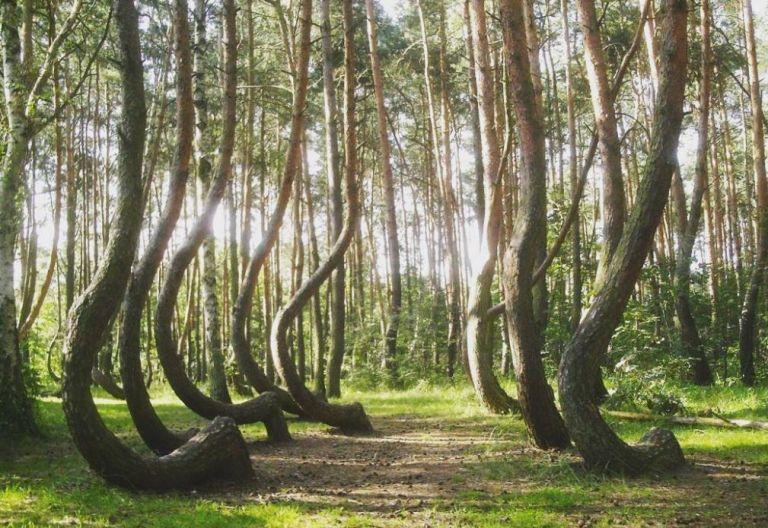 Μυστήριο καλύπτει το «στραβό δάσος» στην Πολωνία – Πώς λύγισαν 400 κορμοί; | tovima.gr