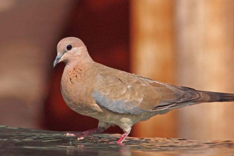 Ανακαλύφτηκε στη Λέσβο το φοινικοτρύγονο, νέο για την Ελλάδα αναπαραγόμενο είδος πουλιού | tovima.gr